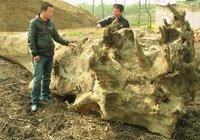 浠水巴河挖出5棵乌木 两农民花万元运回家
